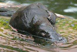 Genetic safety in numbers, platypus study finds
