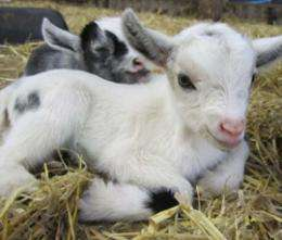Goat kids can develop accents