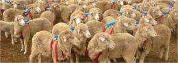 Herding sheep really are selfish