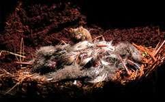 House mice put endangered petrels at risk of extinction