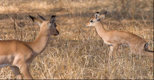 Illegal hunting in the Serengeti ecosystem: Social and molecular genetic methods of combating crimes against fauna