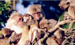 Insights into primate diversity: Lessons from the rhesus macaque
