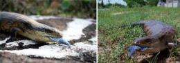 Invasive plant protects Australian lizards from invasive toad: Study