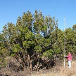 Gasification may convert mesquite and juniper wood to a usable bioenergy