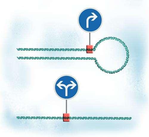 Loop the loop, DNA style