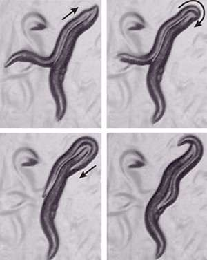 Neurotransmitters linked to mating behavior are shared by mammals and worms