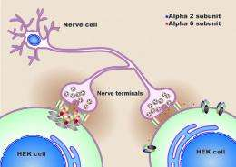 New model synapse could shed light on disorders such as epilepsy and anxiety