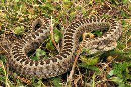 Orsini's viper: growth or reproduction, that is the  question