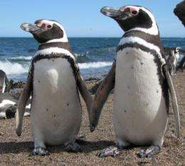 Picky penguins: Does mate choice depend on genes that help resist disease?