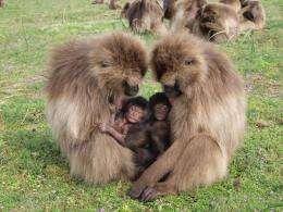 Pregnant gelada monkeys abort when new male enters group