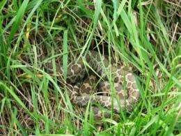 Rare fungus kills endangered rattlesnakes in southern Illinois