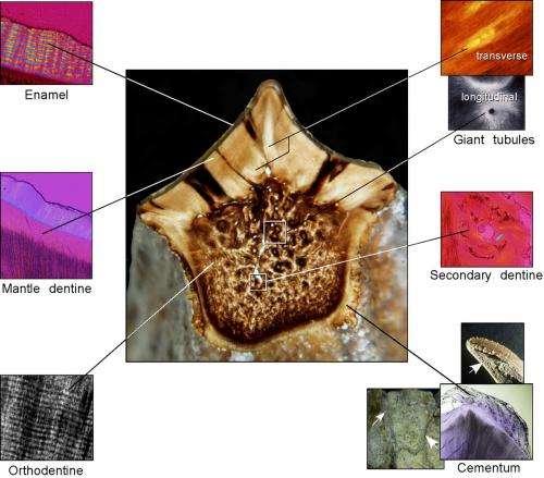 Duck-bill dinosaurs had plant-pulverizing teeth more advanced than horses