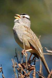 Scared of a younger rival? Not for some male songbirds