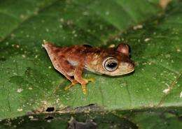 """The """"cowboy frog"""" is caramel-coloured and displays white fringes along the back legs and a spur on the heel"""
