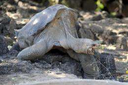 The Galapagos Islands, situated off Ecuador's coast, are considered a haven for tortoises