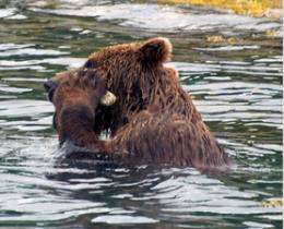 Wild brown bear observed using a tool