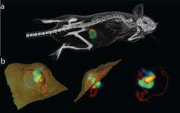 Engineered bacteria effectively target tumors, enabling tumor imaging potential in mice