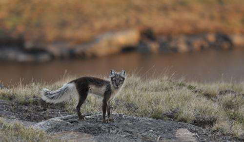 Arctic sea-ice loss has widespread effects on wildlife