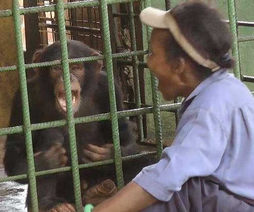 As chimpanzees grow, so does yawn contagion