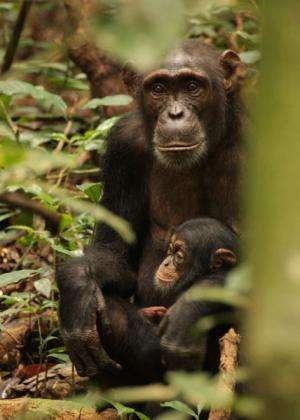 Bonobos stay young longer