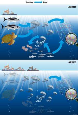 Boom in jellyfish: Overfishing called into question