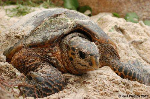 DNA reveals mating patterns of critically endangered sea turtle