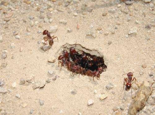 Evolution shapes new rules for ant behavior