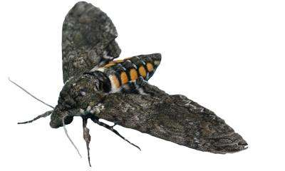 Female moths use olfactory signals to choose the best egg-laying sites
