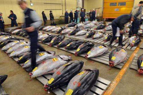Fishmongers inspect bluefin tuna before the first trading of the new year at Tokyo's Tsukiji fish market on January 5, 2013
