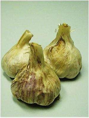 Garlic keeps fanged fish parasites away