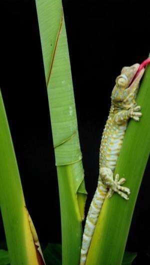 Geckos keep firm grip in wet natural habitat