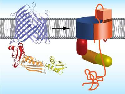 How bacteria integrate autotransporters into their outer membrane
