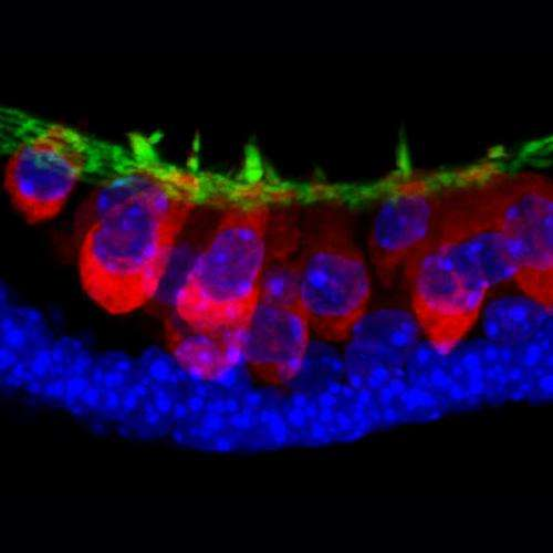 IU researchers create the inner ear from stem cells, opening potential for new treatments