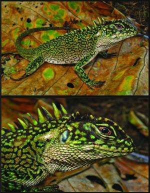 Peru surprises with two new amazing species of woodlizards