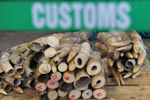Seized ivory tusks from African elephants are displayed at a Hong Kong Customs press conference on January 4, 2013