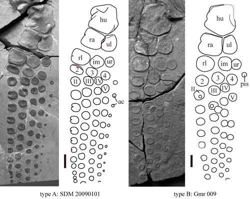 Sexual dimorphism in large-sized, long-snout ichthyosaurs