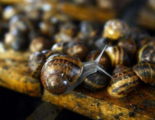 """Snails at the """"Snail Garden"""" farm in Krasin, northern Poland, on May 29, 2013"""