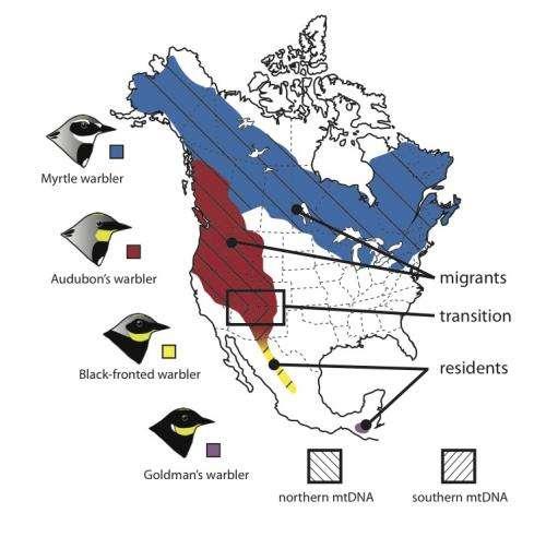 Songbirds may have 'borrowed' DNA to fuel migration