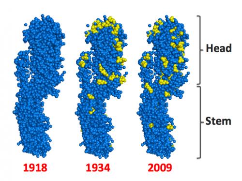 Stanford researchers take a step toward developing a 'universal' flu vaccine