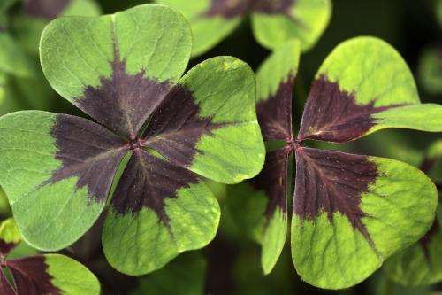 That four-leaf clover you found may not be a four-leaf clover