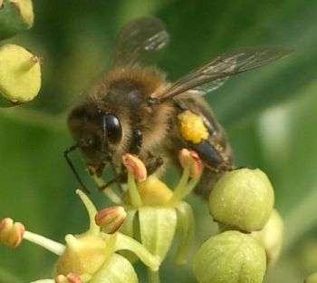The honey and the ivy – why gardeners' foe is the bees' friend