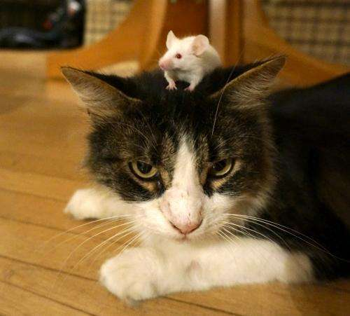 Toxoplasma-infected mice remain unafraid of cats even after parasite clearance