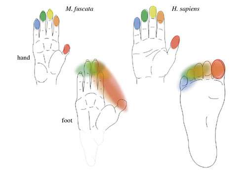 What evolved first--a dexterous hand or an agile foot?