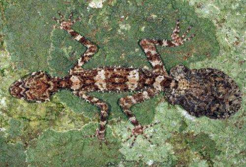 Image provided by Conrad Hoskin of James Cook University Queensland on October 28, 2013 shows the Cape Melville Leaf-tailed Geck