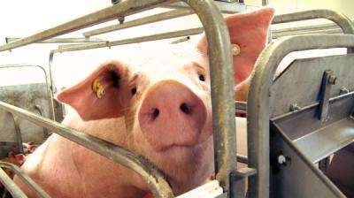 Researchers unveil nation's first porcine virus rapid detection test
