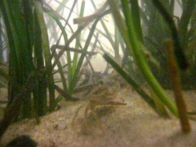 Research shows denser seagrass beds hold more baby blue crabs