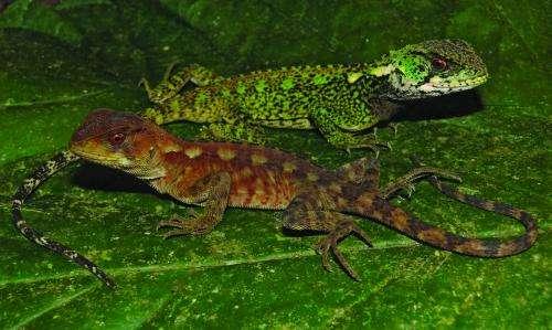 Peru surprises with 2 new amazing species of woodlizards