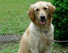Golden retriever study suggests neutering affects dog health