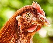 Omega-3 can help laying hens avoid bone damage