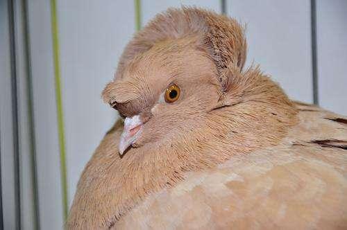 Mutant gene gives pigeons fancy hairdos